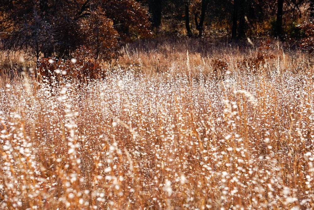field of brown leafed plant