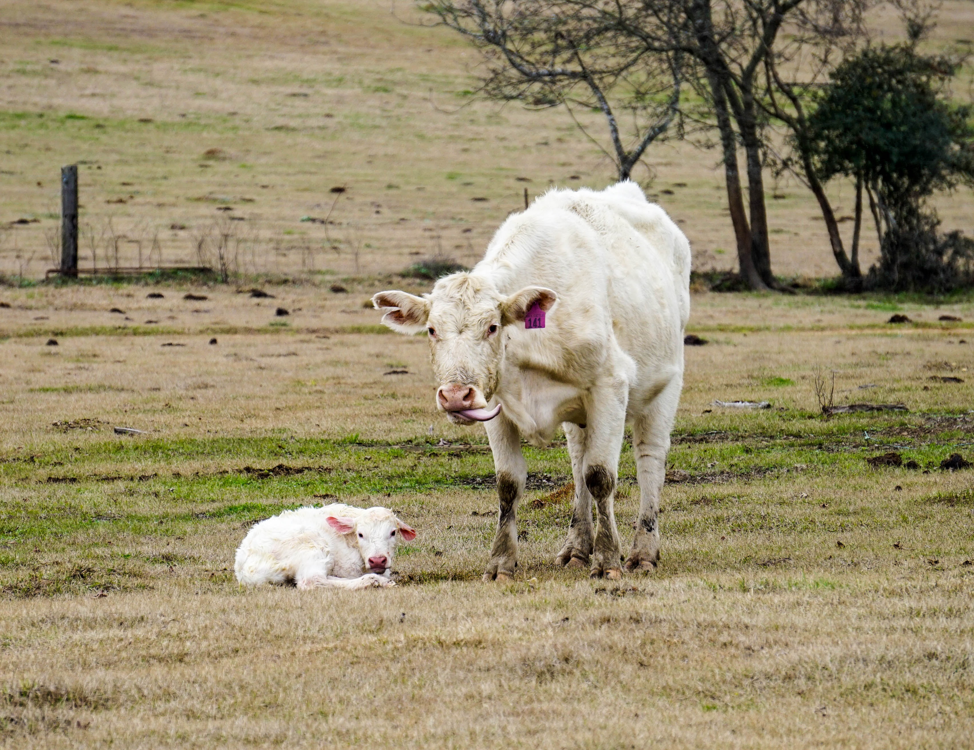 white cow and calf on green grass