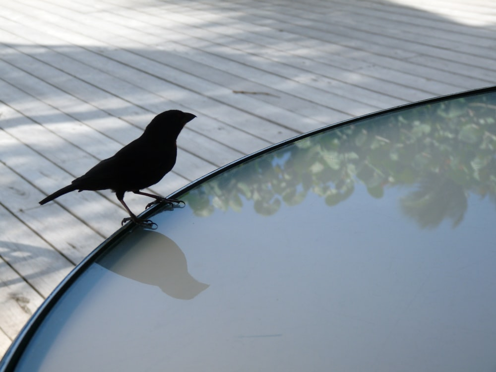 black bird on pool side