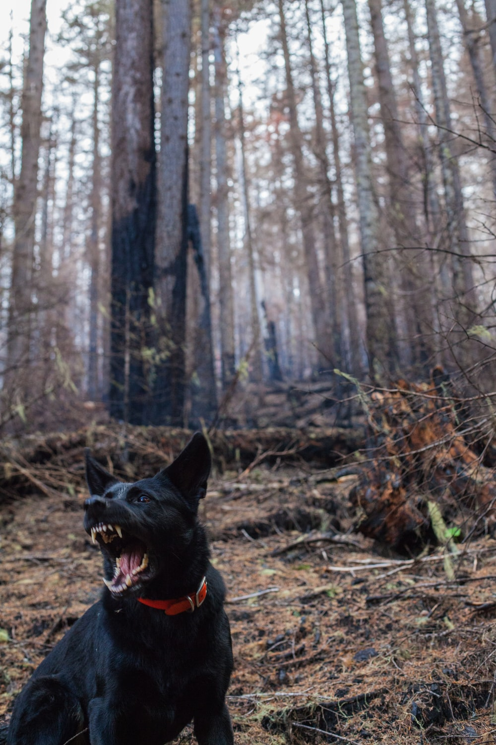 dog barking in the forest