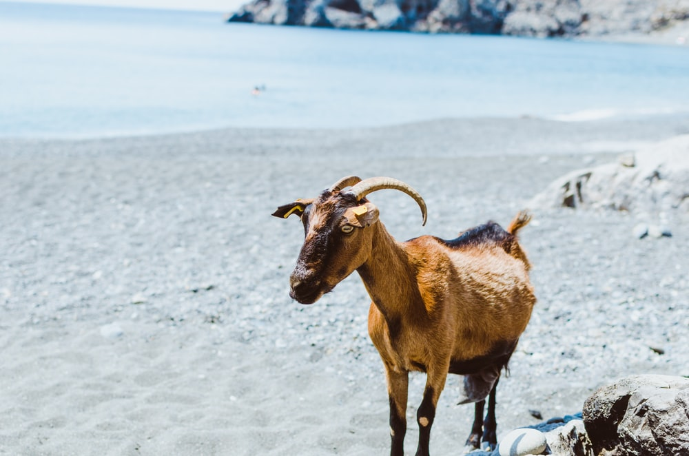 brown goat near beach during daytime photo