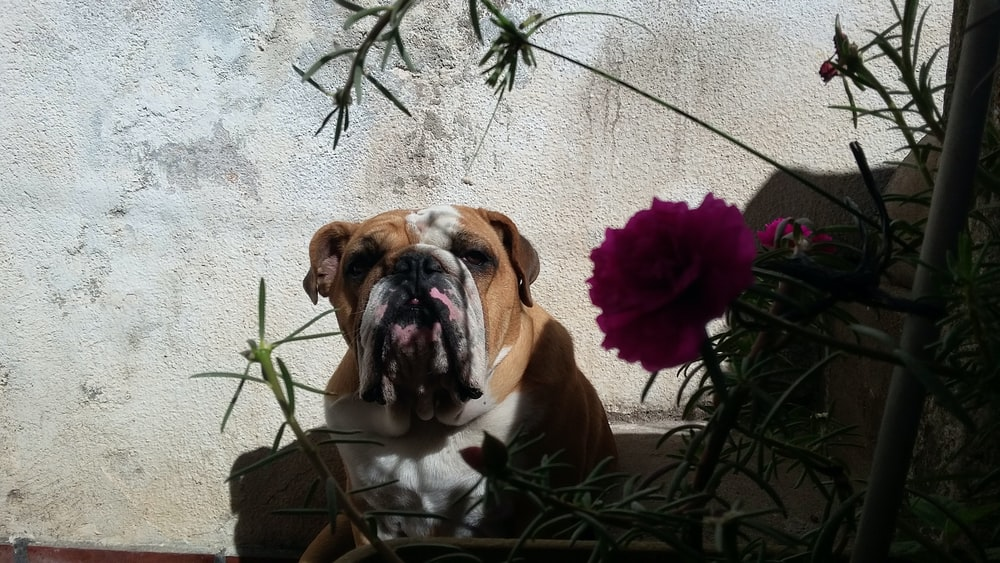 Toto | 3 best free toto, bulldog, dog, and perro photos on Unsplash
