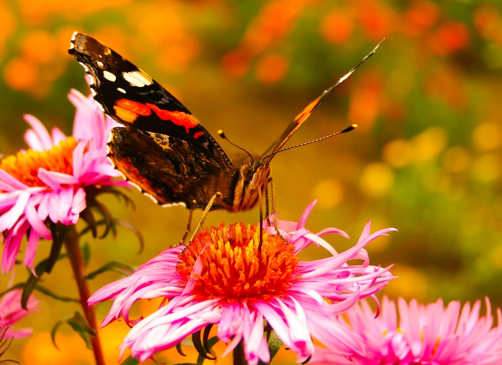 selective focus photography of black and orange Malay lace wing butterfly on pink cone flower
