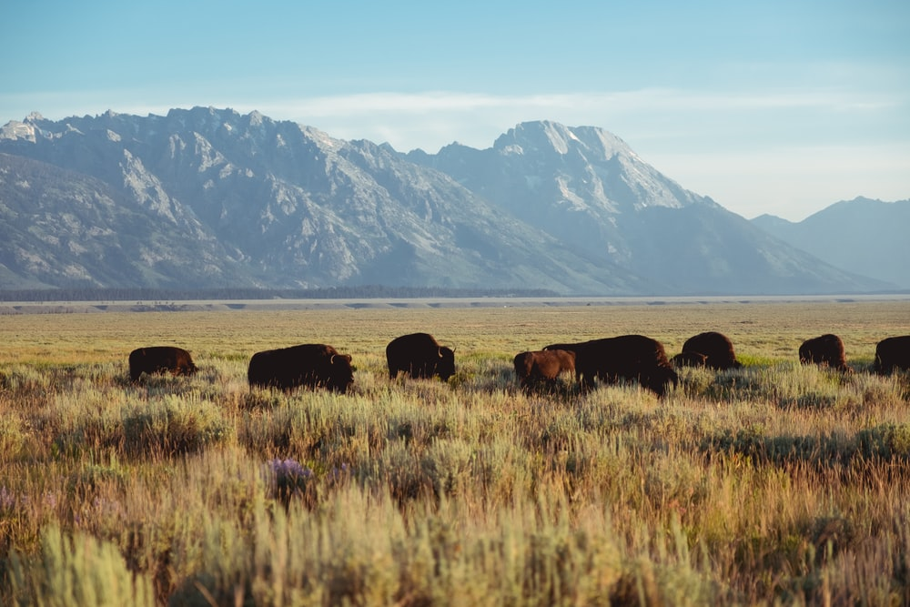 bison grazing on grass near mountains during daytime