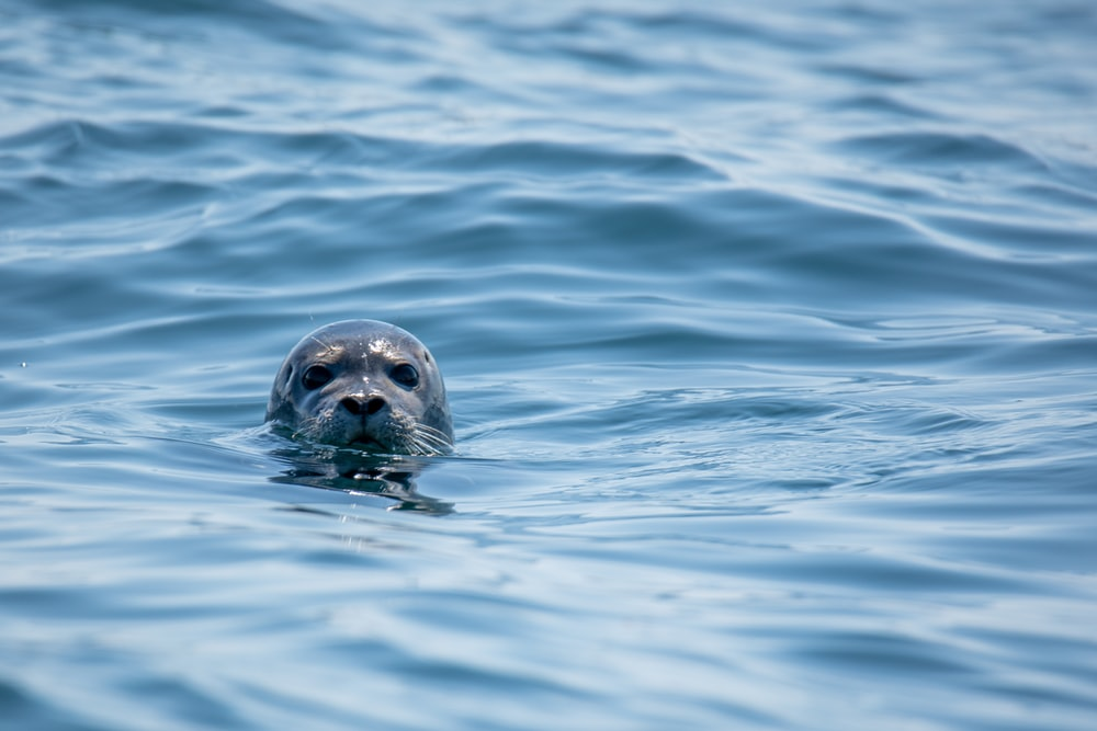 gray seal in water at daytime