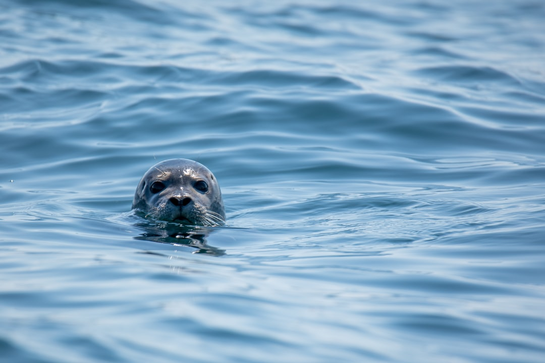 I happened across this curious harbor seal while out photographing sailboat races in Boothbay Harbor. He didn't stick around long - seals never do…