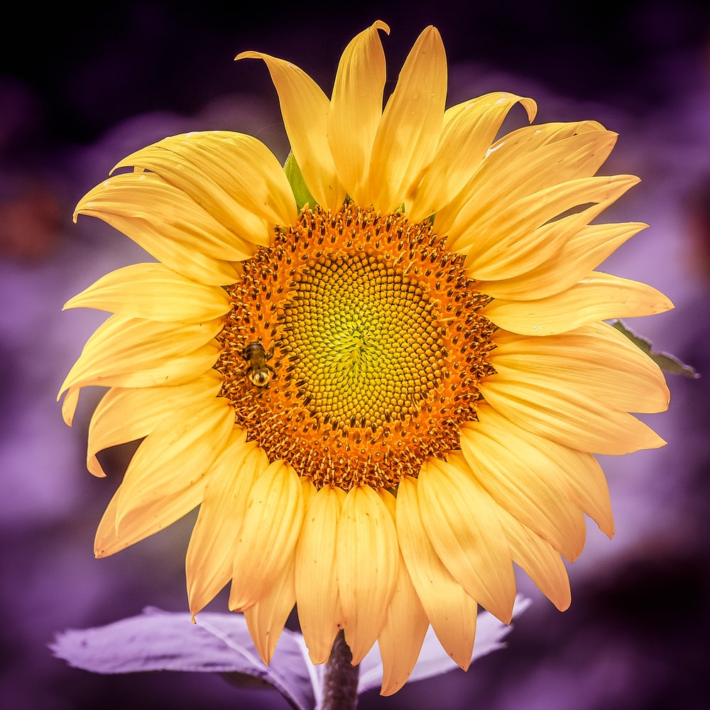 sun flower with bee on top