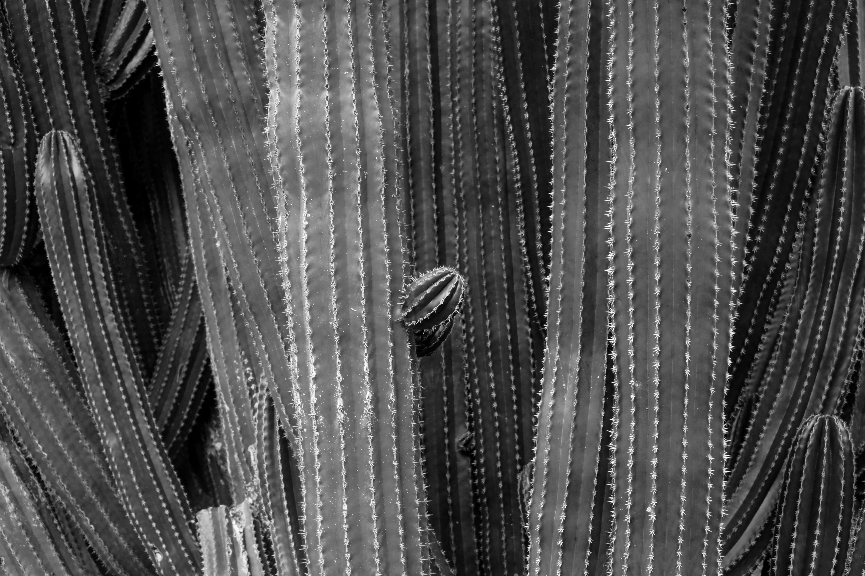 black and white photo of cactus plant