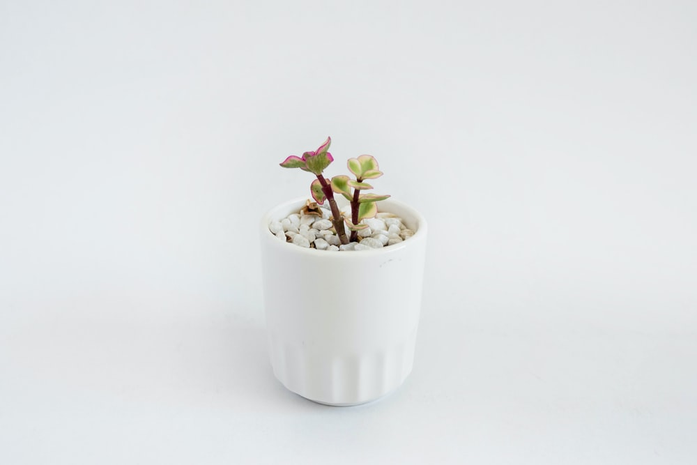 green jade plant in vase
