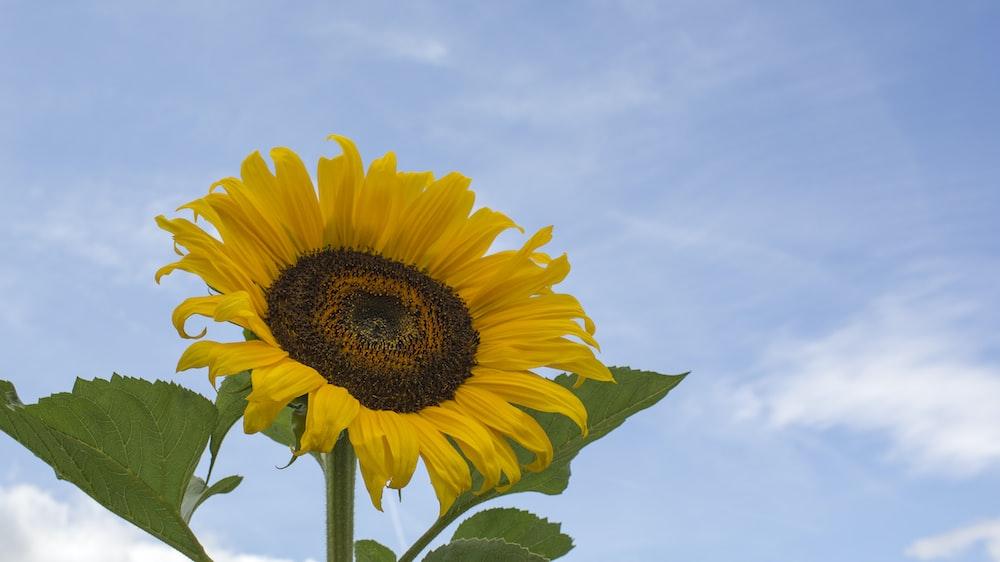 sunflower under clear sky during daytime