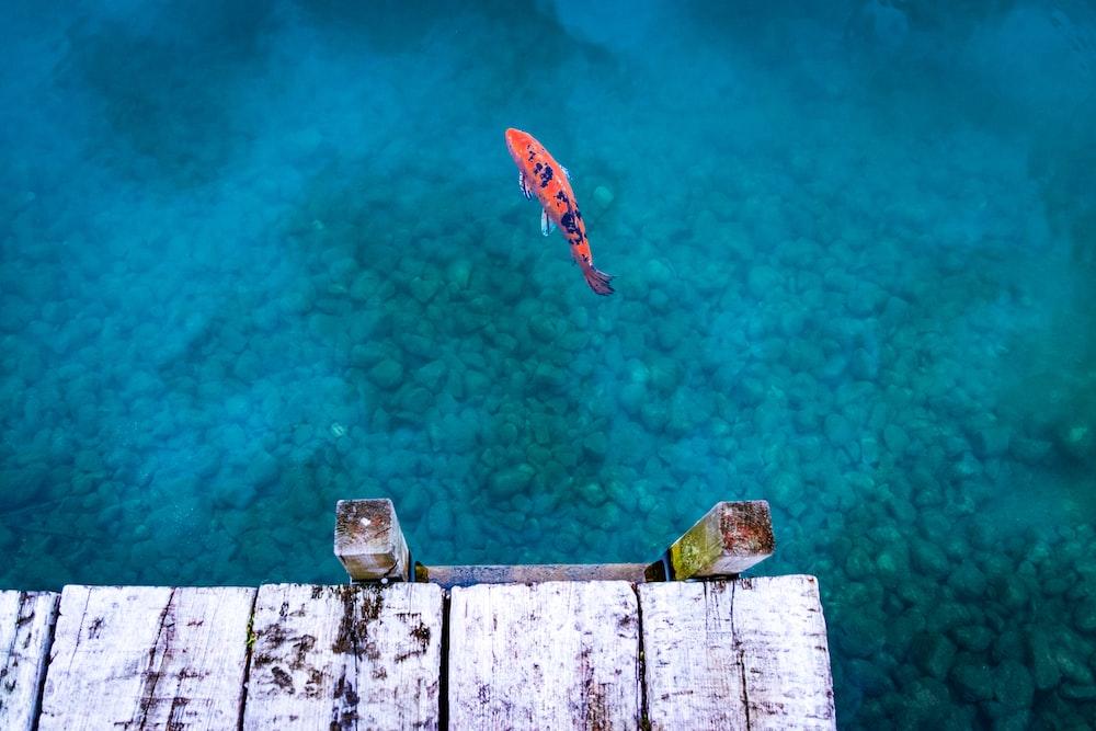 orange and black fish on body of water near dock