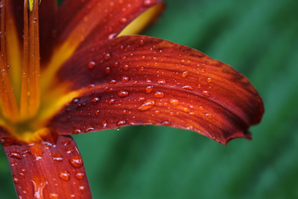 micro photography of water dew on red petaled flower
