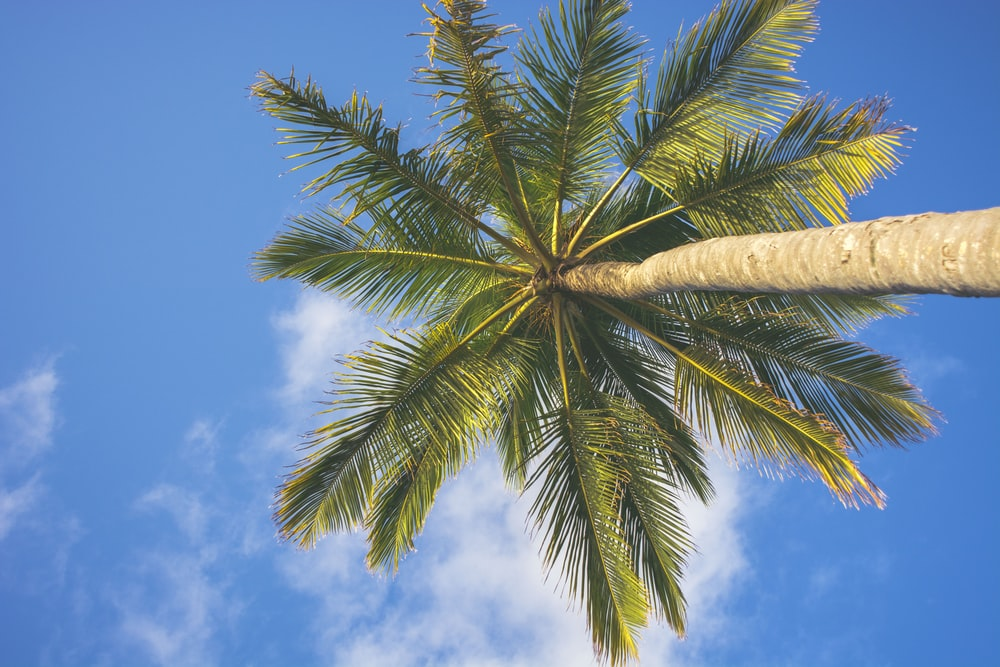coconut tree under clear blue sky