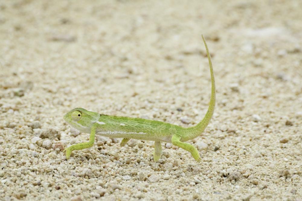 green reptile walking on soil