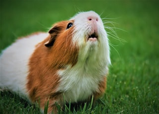 shallow focus photography of brown and white guinea pig