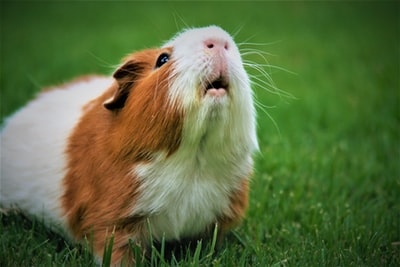 shallow focus photography of brown and white guinea pig guinea teams background