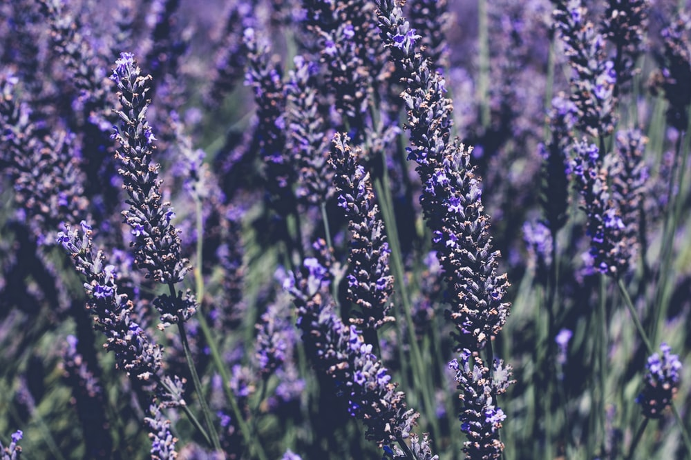 Edible Lavender - The Secrets Of A Home Remedy