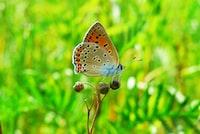 Czerwończyk uroczek na roślinie