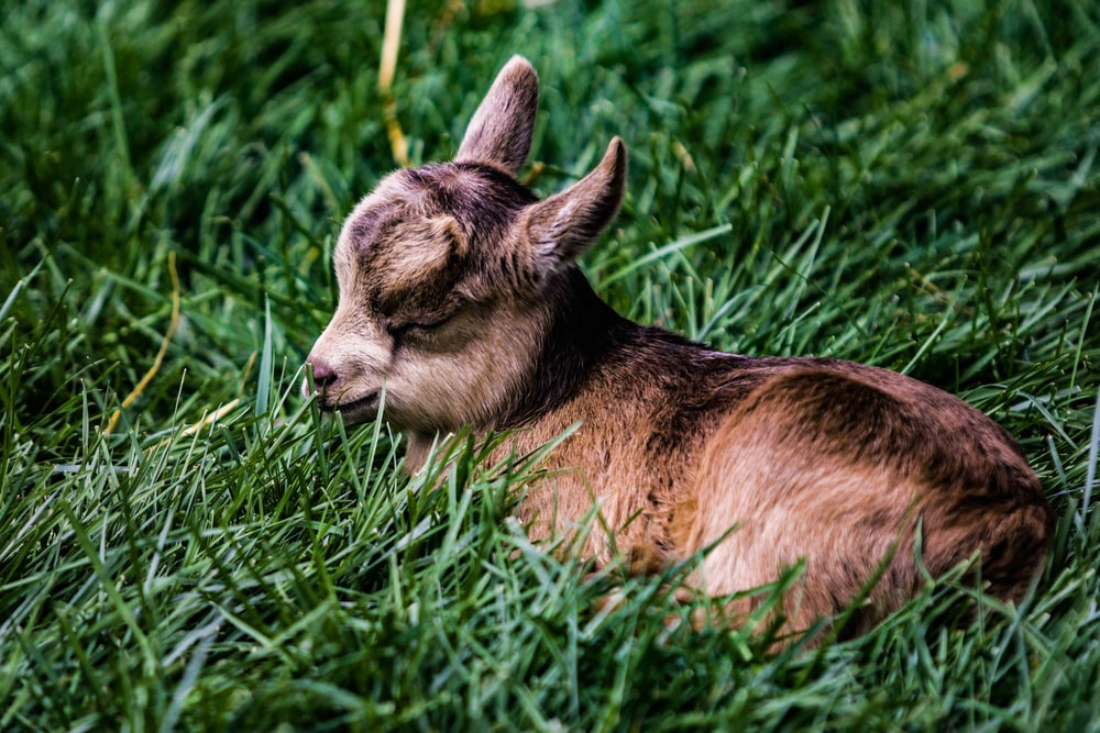 brown kid goat in prone position on grass
