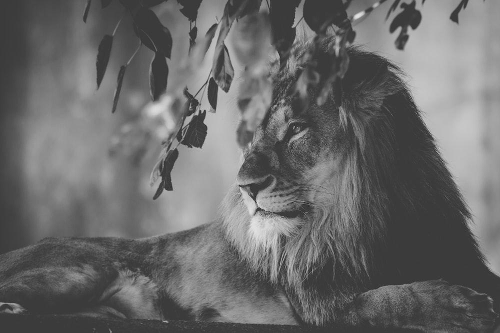 lion lying near tree
