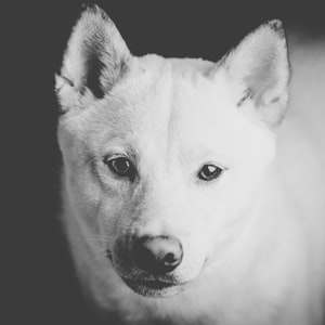 grayscale photo of dog