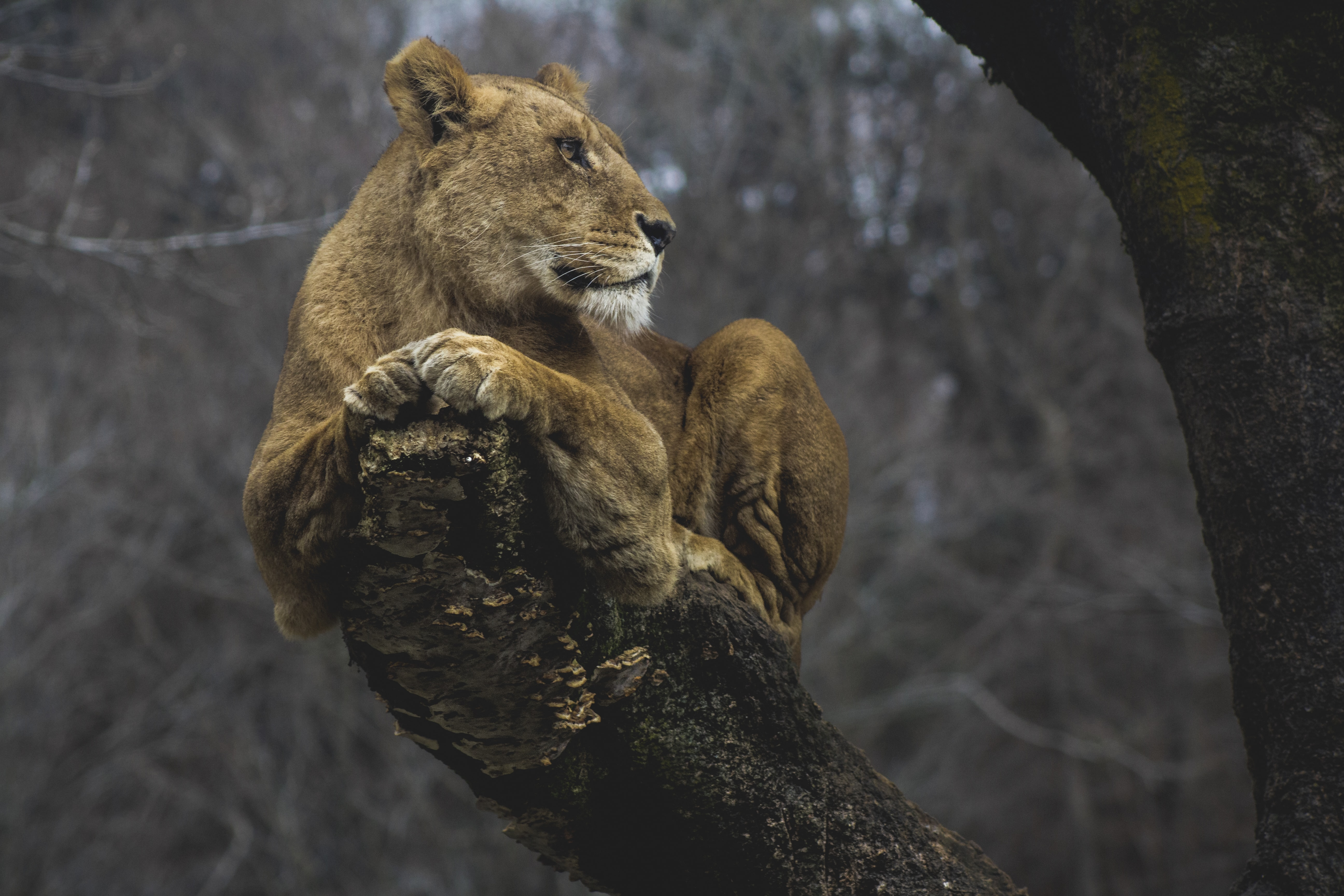 Lioness on tree branch at daytime