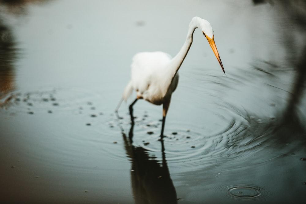 white long-beaked bird in water