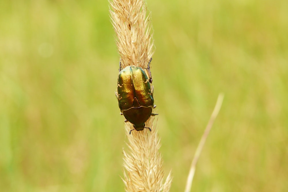 scarab beetle on a plant