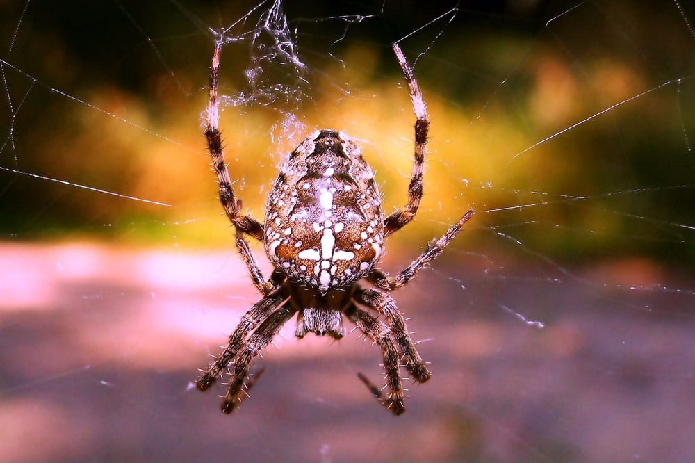 focus photography of brown spider hanging on web