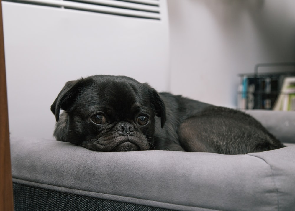black pug puppy lying on gray bed