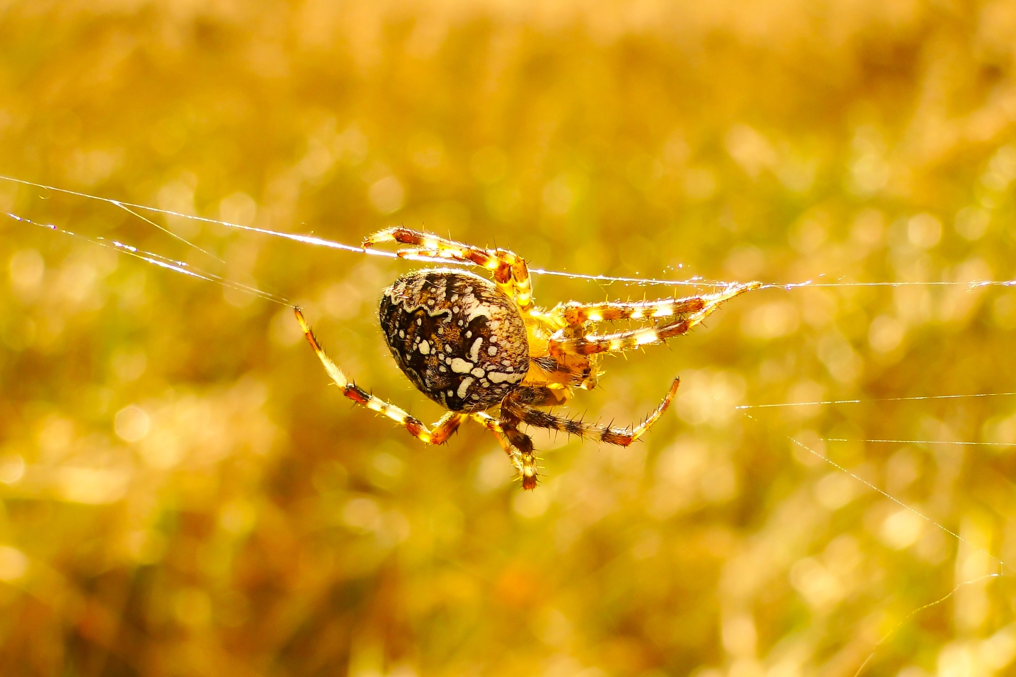 brown furrow spider