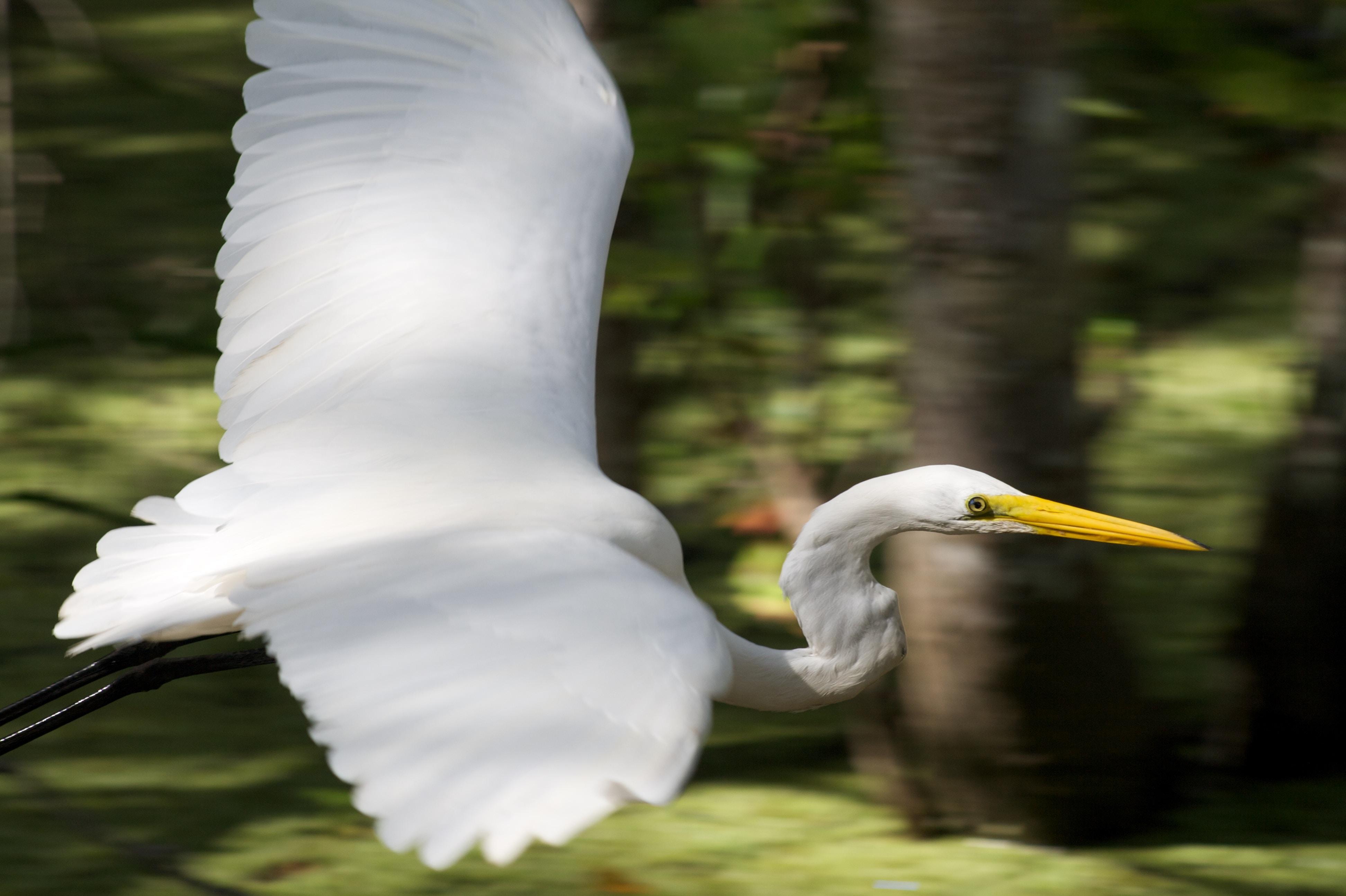 white long-beaked bird flying over tree