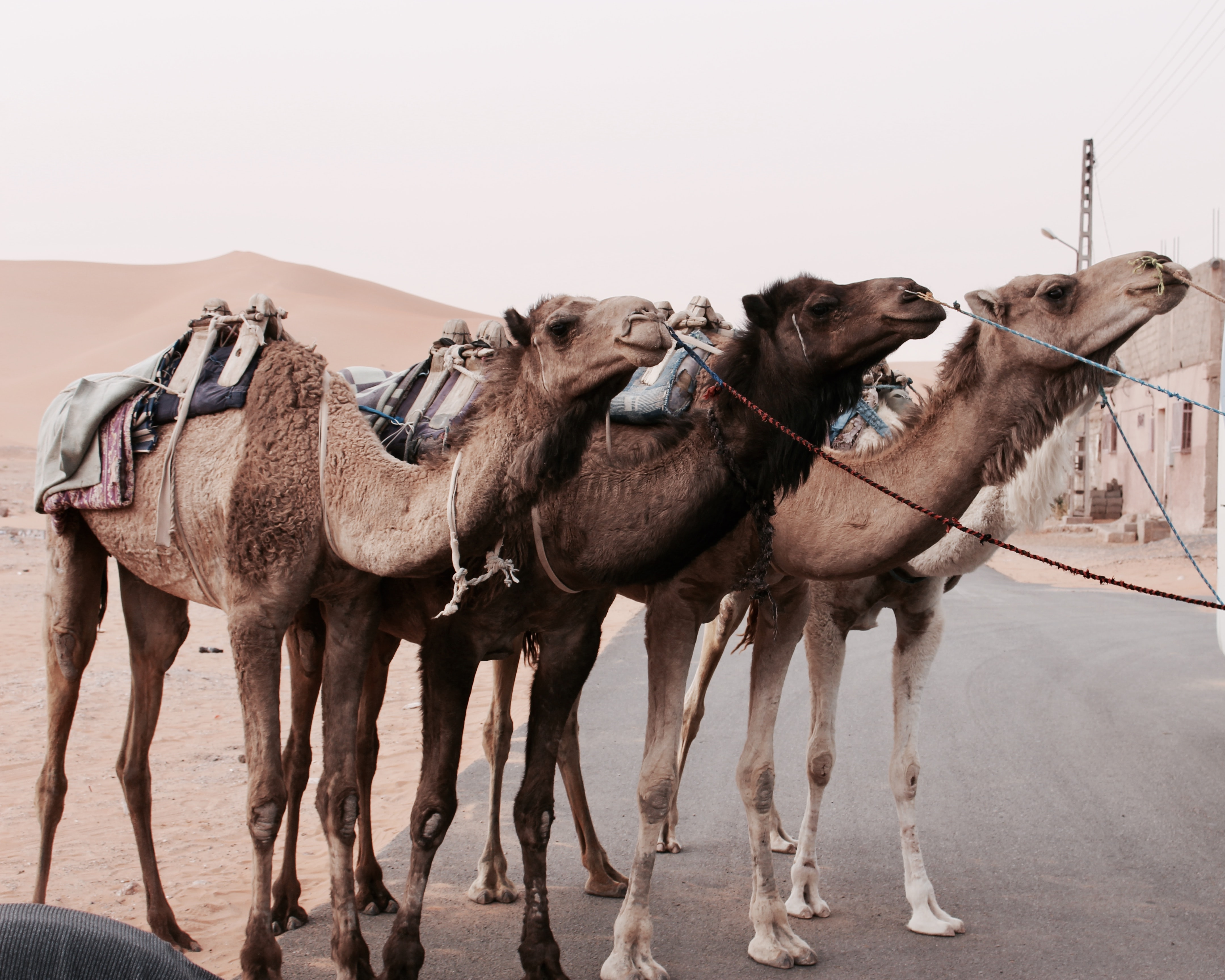 three camels standing on street
