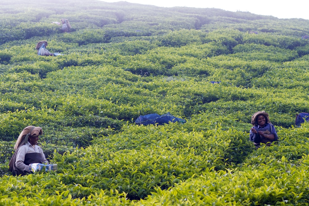 person harvesting