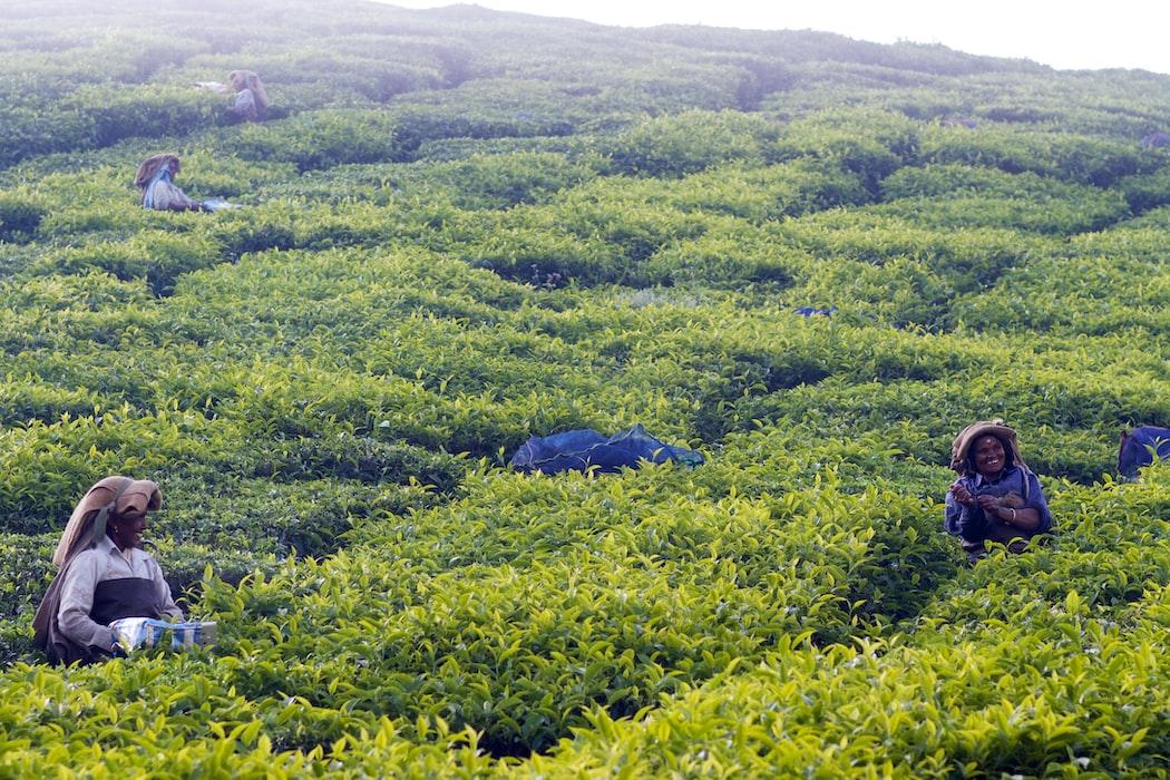 Tea estates of Munnar