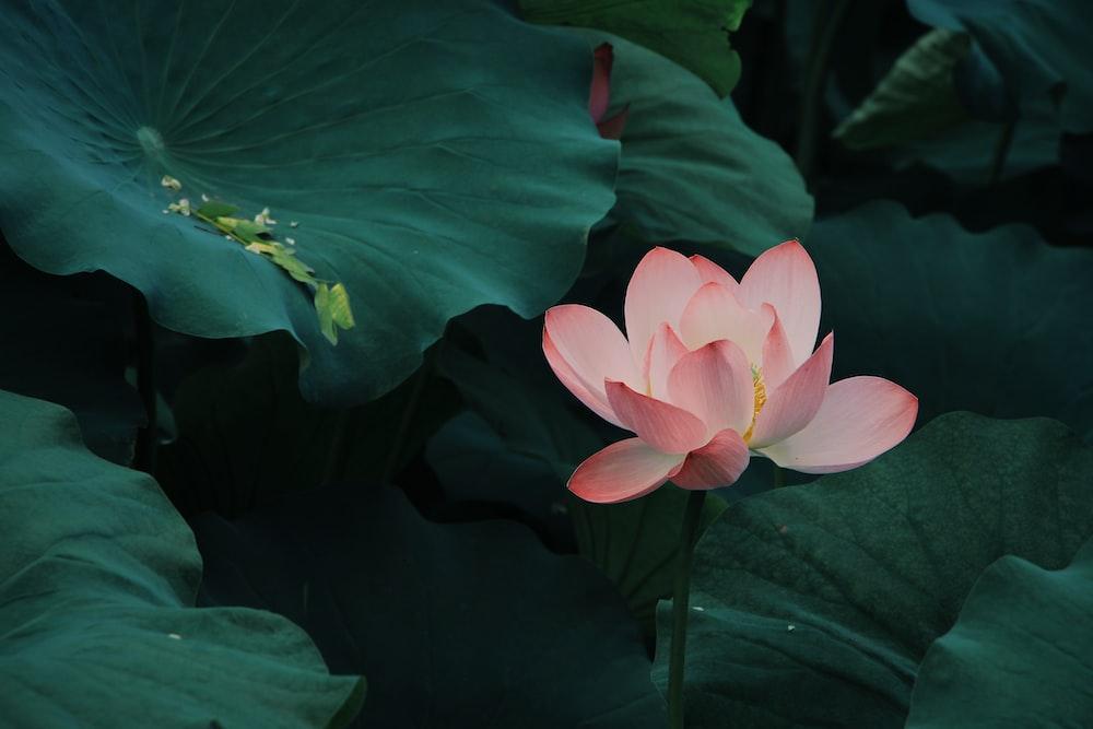 27 lotus pictures download free images on unsplash pink lotus flower mightylinksfo