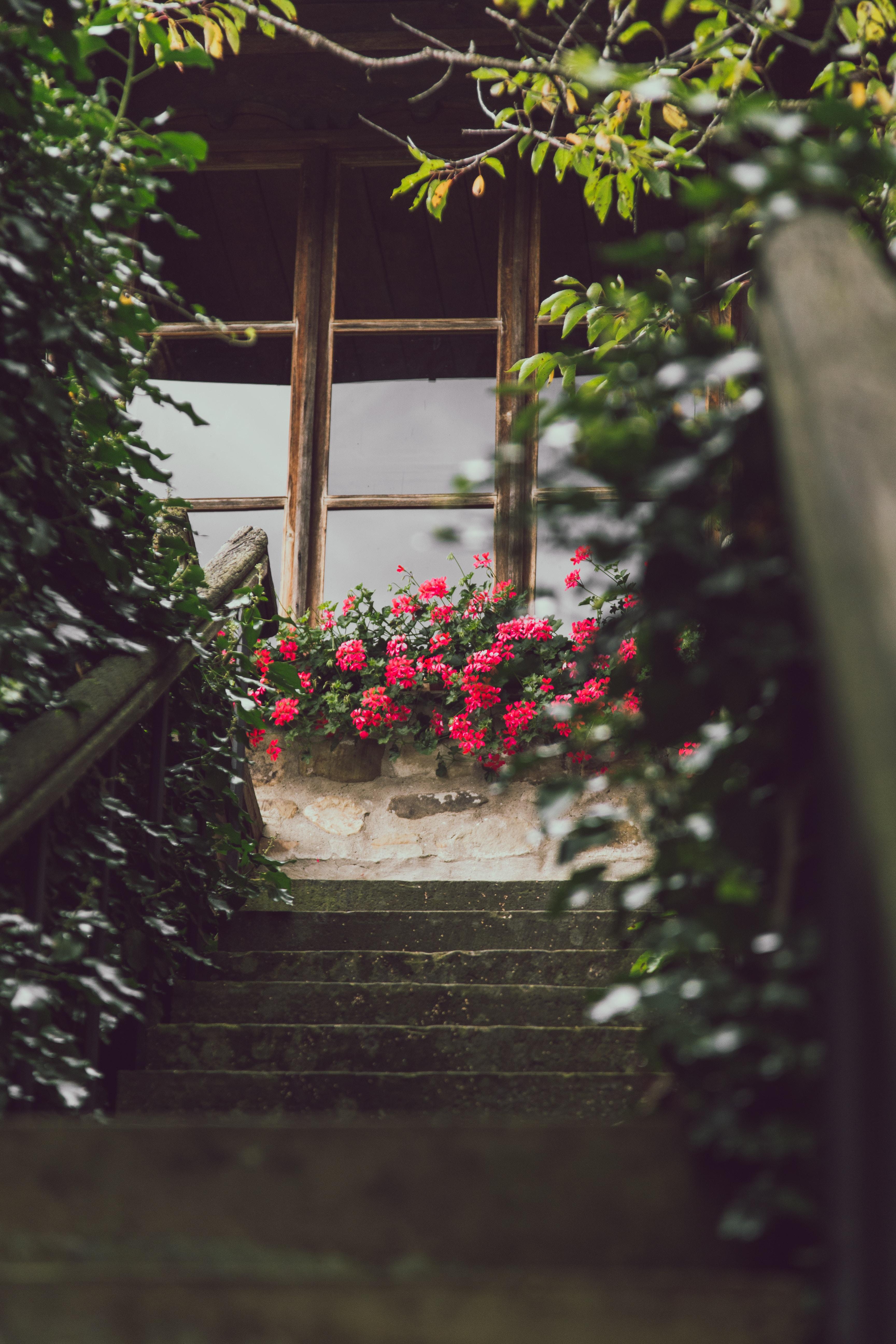 pink flowers outside window