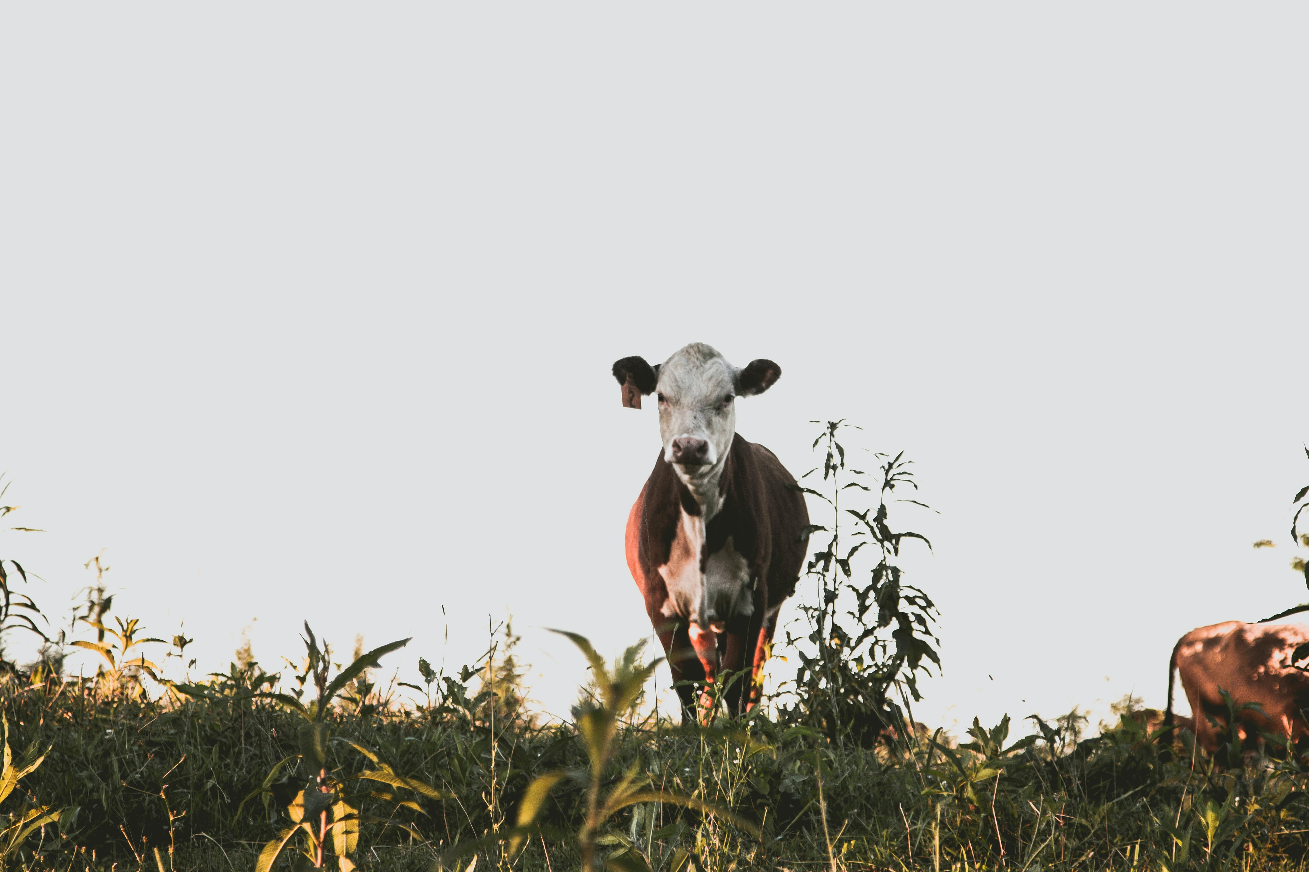 white and black cow on grass field