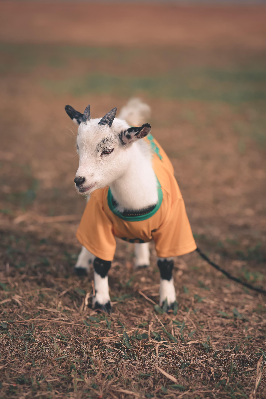white goat wearing orange and gray shirt