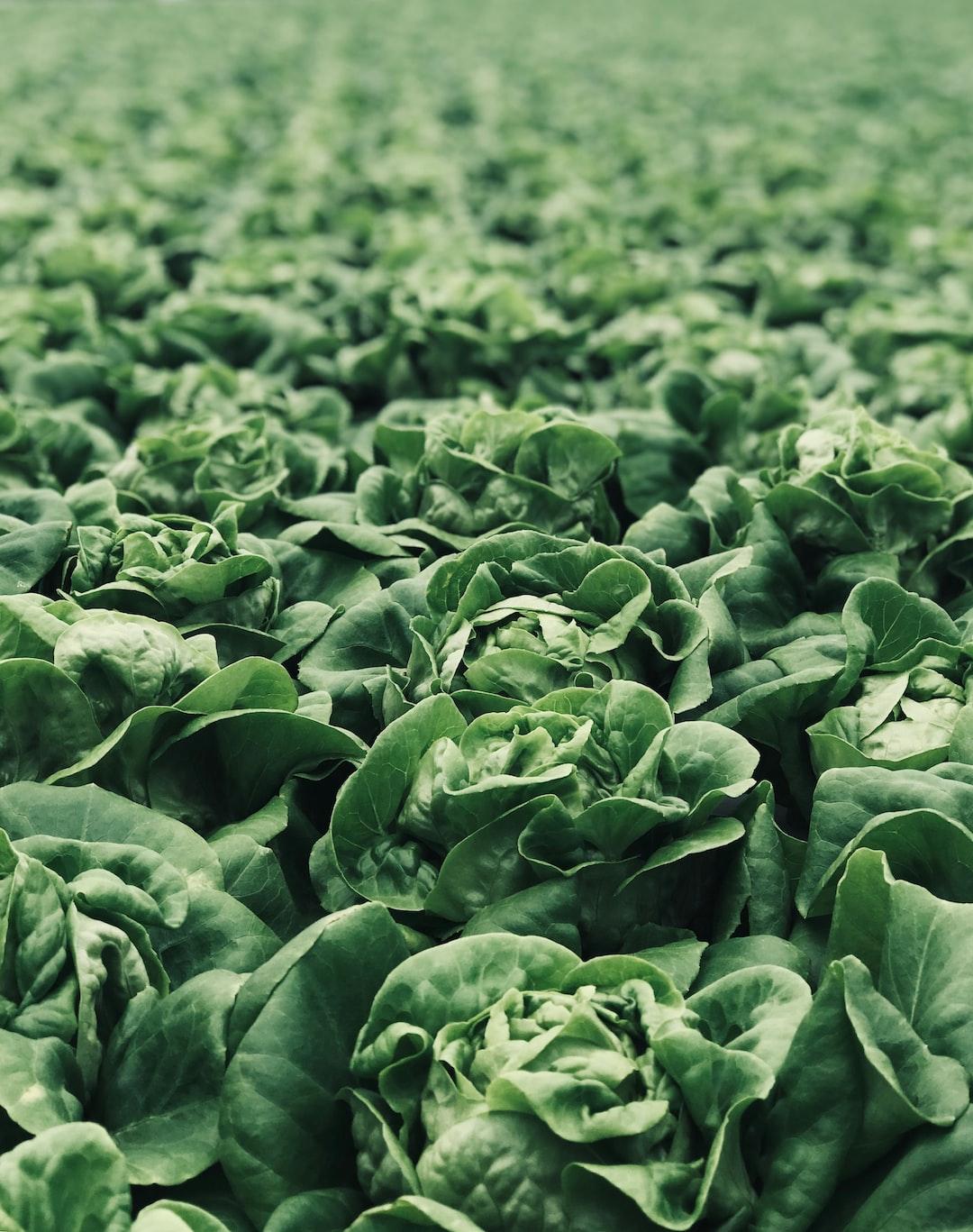 Lamb Lettuce