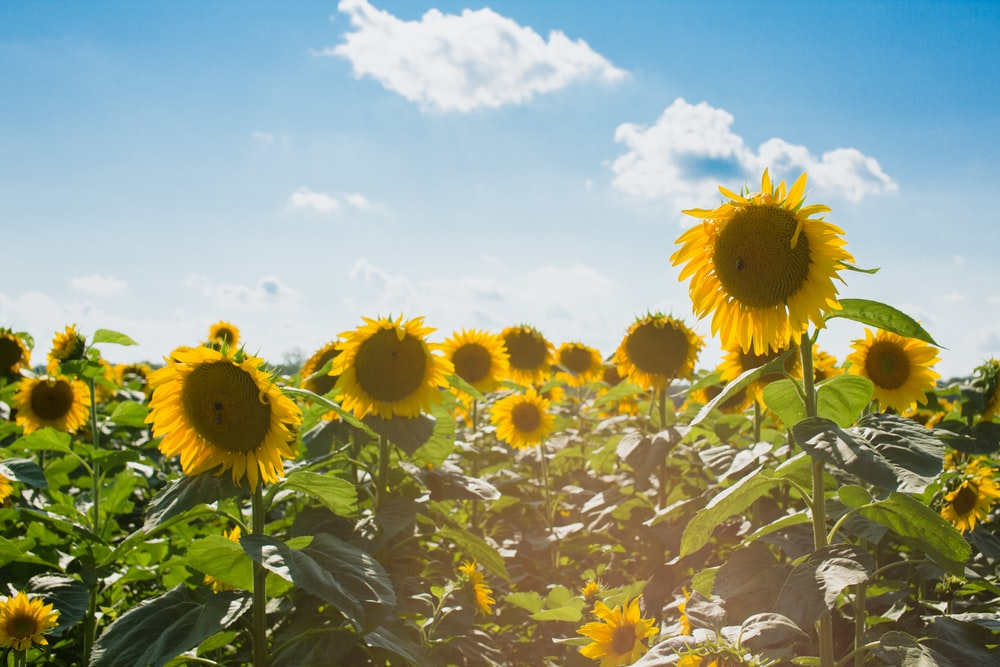 sunflower field under white clouds and blue sky
