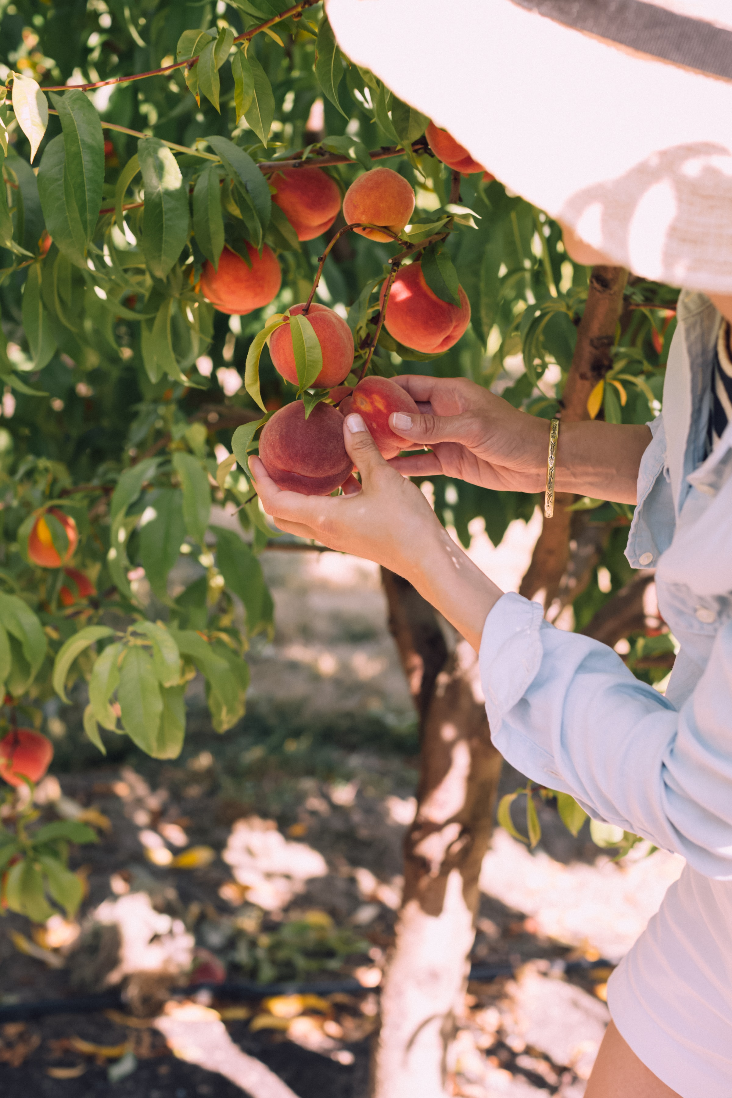woman picking peaches on tree during daytime