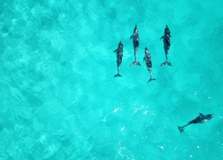 school of dolphins on body of water