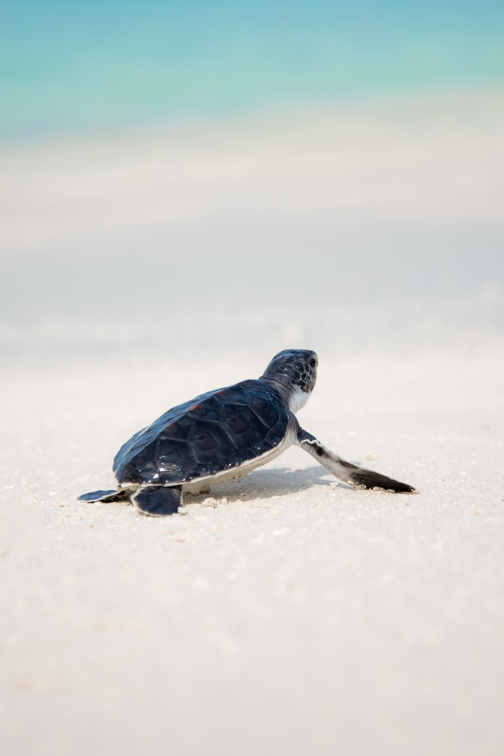 black turtle on sand
