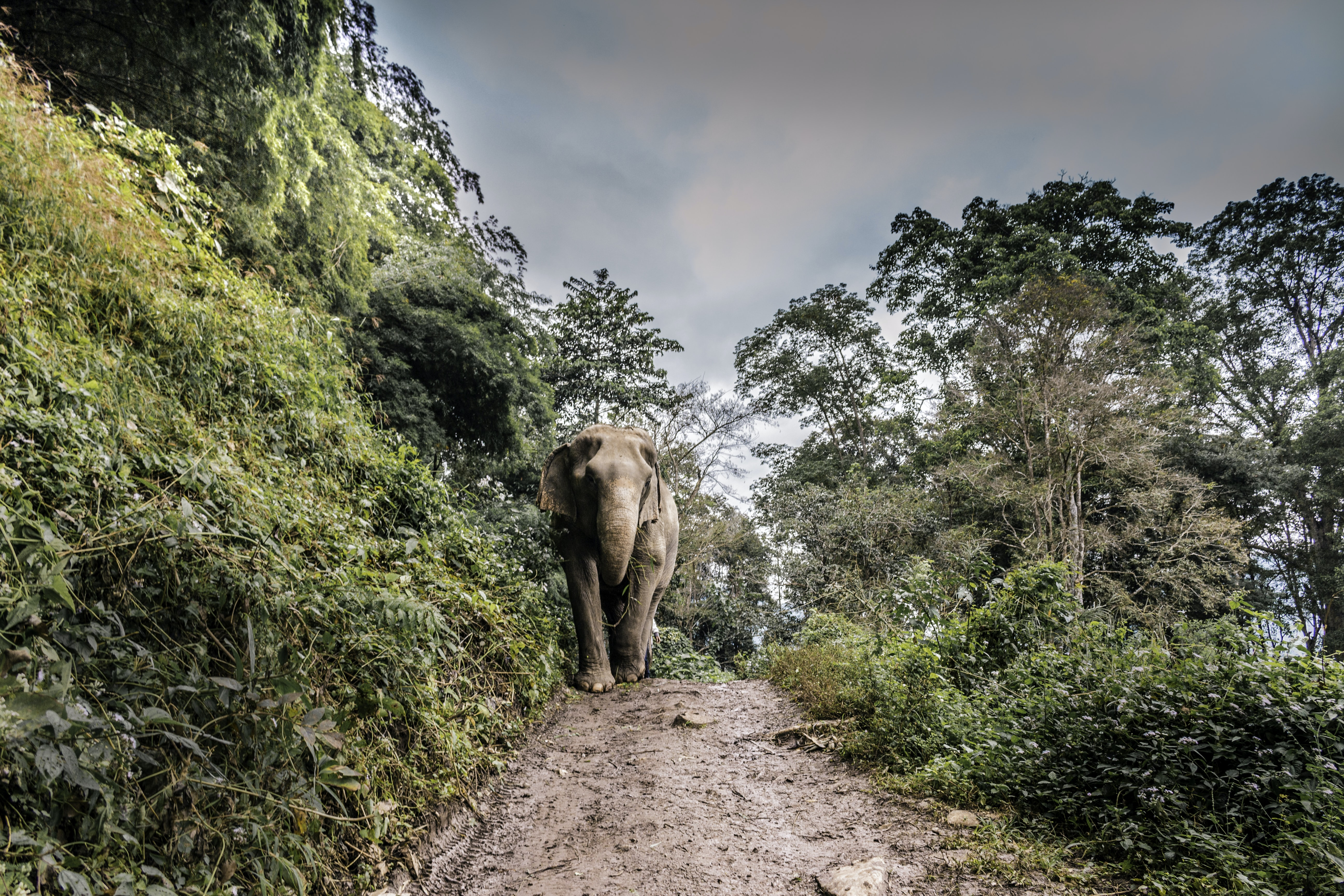 brown elephant walking at middle of walkway beside tree
