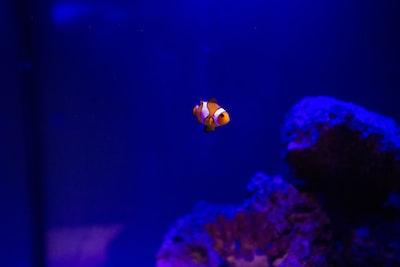 yellow and white clownfish aquarium zoom background