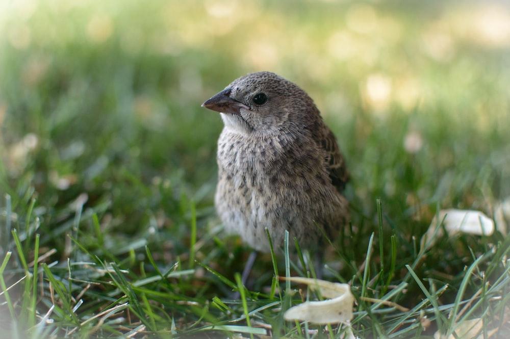 selective photo of sparrow bird on grass field
