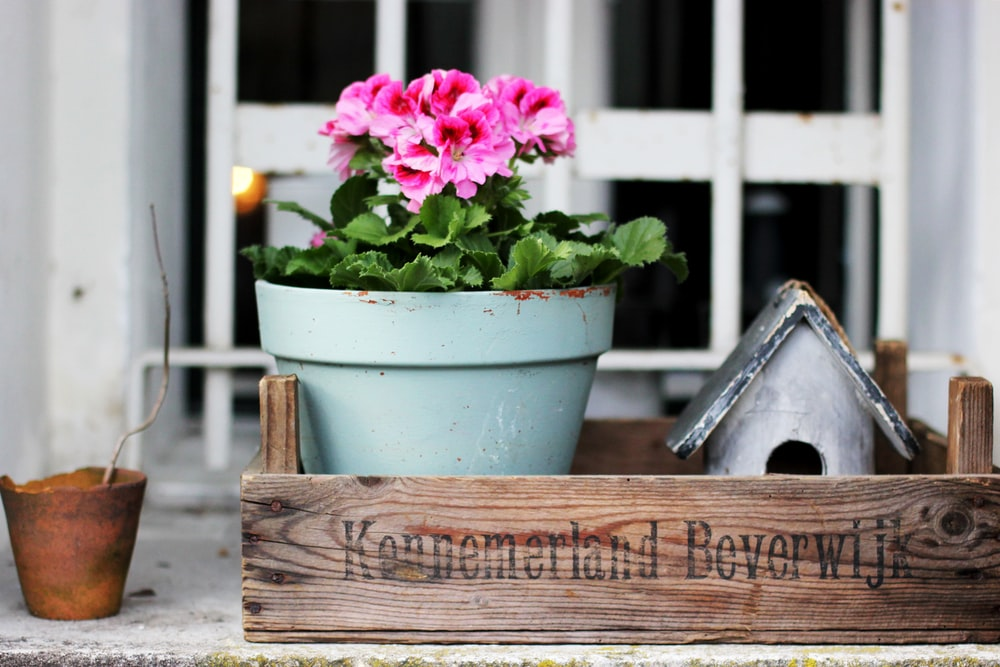 pink flowers in blue plant pot