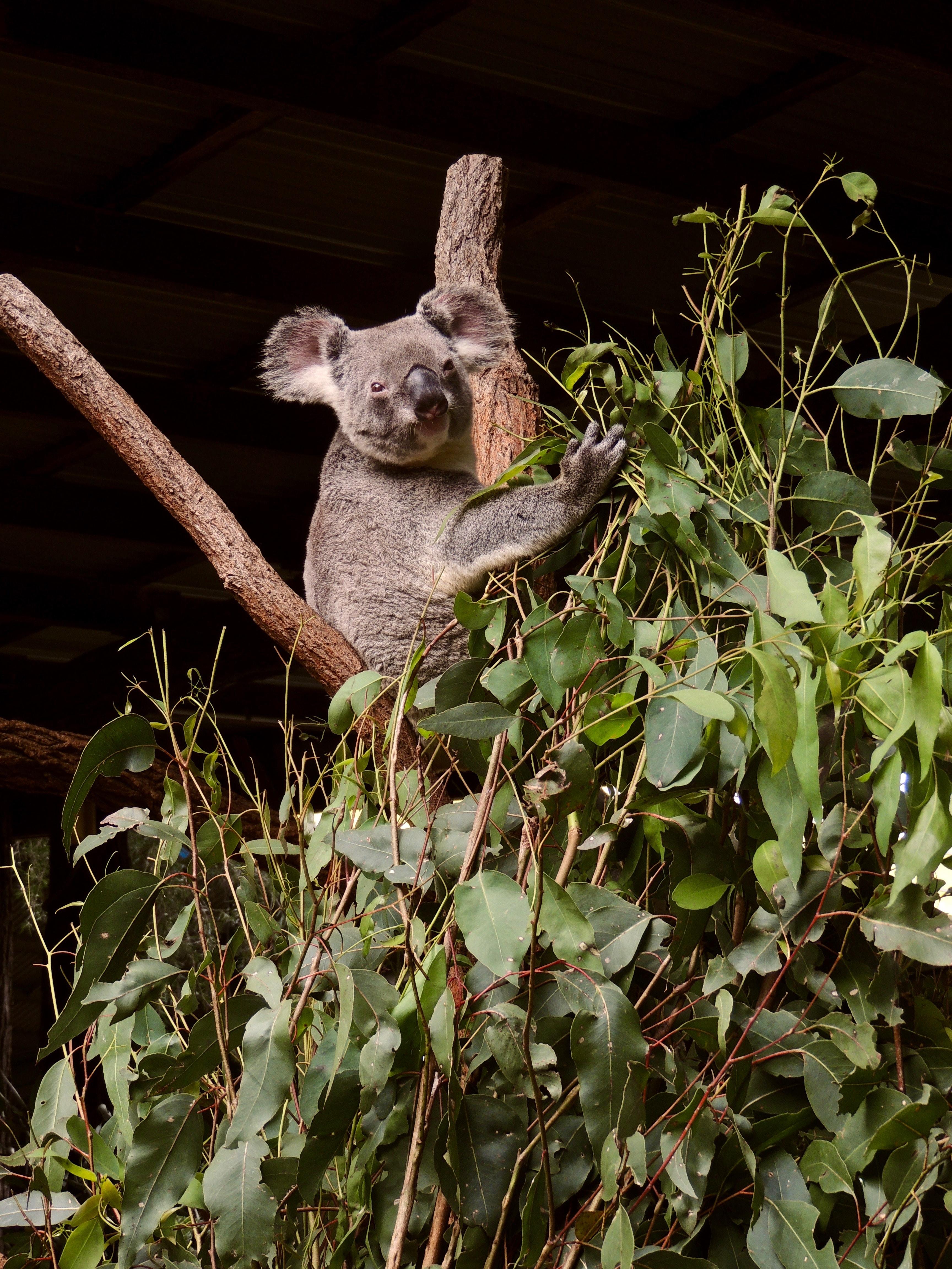 Koala resting on a tree