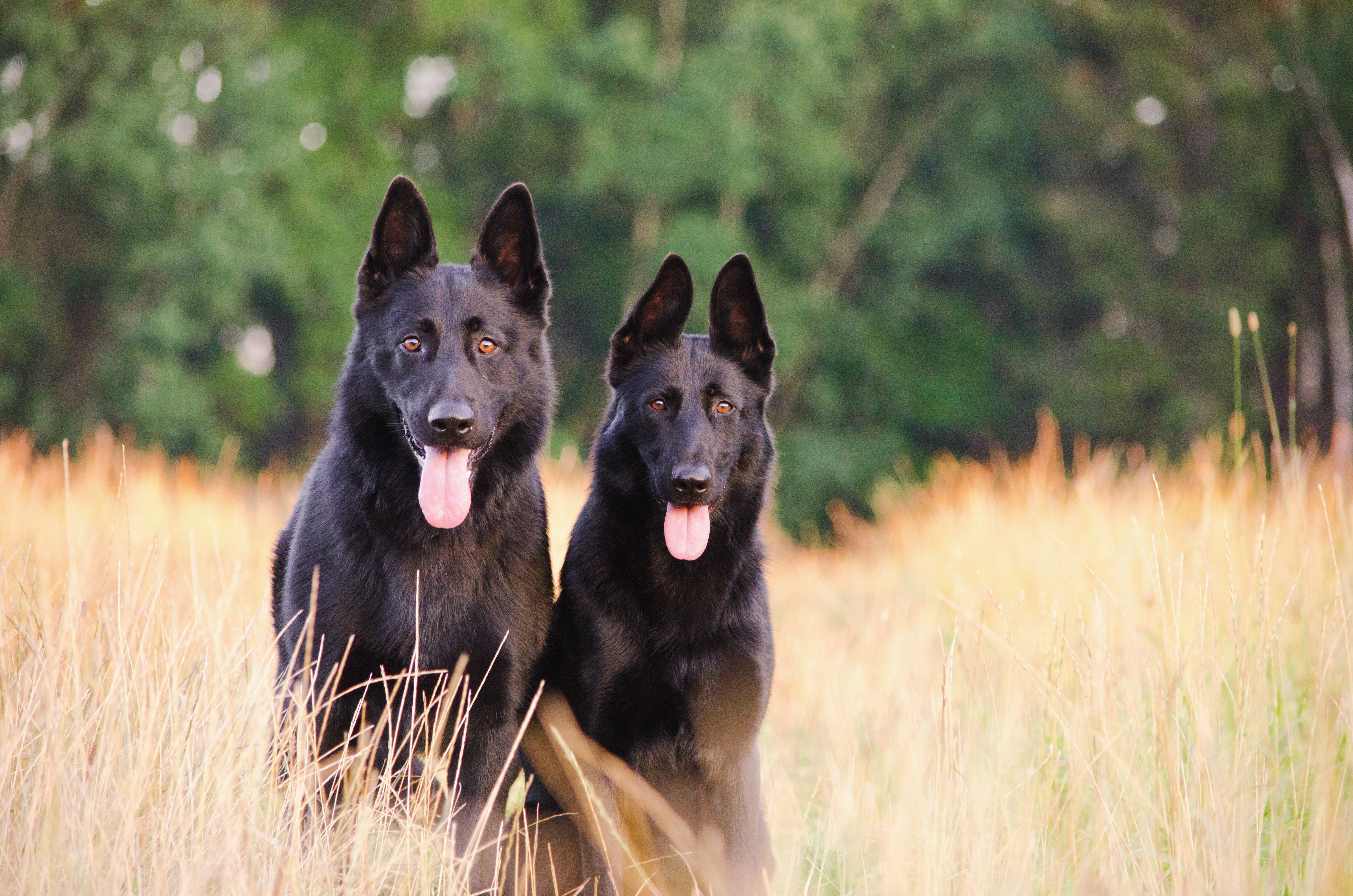 two black wolf dogs on grass
